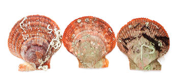 Escudos do mar. Imagens de Stock