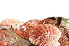 Escudos do mar. imagens de stock royalty free