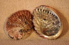 Escudos do mar do molusco da califórnia Imagem de Stock
