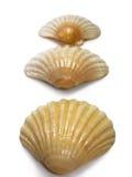 Escudos do mar do trio do Scallop fotos de stock royalty free