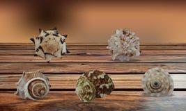 Escudos do mar no fundo de madeira marrom da tabela fotos de stock