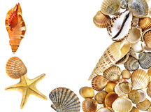Escudos e starfish Fotografia de Stock
