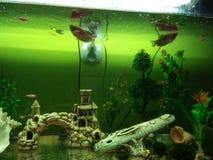 Escudos e zíper artificiais das plantas dos peixes do gurami de Dan em um grande aquário foto de stock