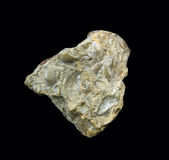 Escudos fossilizados Fotos de Stock