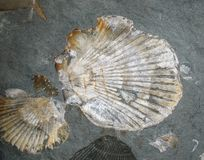 Escudos fossilizados Fotografia de Stock
