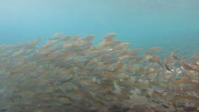 Escuela de la sardina en el Mar Rojo almacen de video