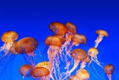 Escuela de las medusas de la ortiga del mar Imagen de archivo