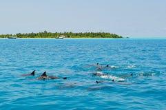 Escuela de los delfínes salvajes que nadan en Maldivas Foto de archivo libre de regalías