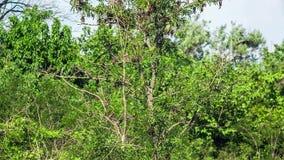 Escuela de los gorriones que vuelan alrededor de ramas del verde almacen de video