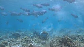 Escuela de los peces papagayo de Bumphead Imagen de archivo libre de regalías