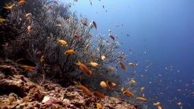 Escuela de los pescados amarillo-naranja brillantes subacuáticos en el fondo del fondo del mar Maldivas metrajes