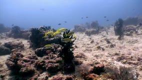 Escuela de los pescados amarillos rayados subacuáticos en el fondo del fondo del mar en Maldivas metrajes