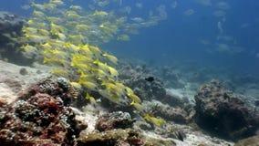 Escuela de los pescados amarillos rayados subacuáticos en el fondo del fondo del mar en Maldivas almacen de metraje de vídeo