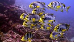 Escuela de los pescados amarillos rayados subacuáticos en el fondo del fondo del mar en Maldivas almacen de video
