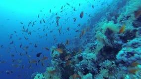 Escuela de los pescados cerca de los corales, Mar Rojo almacen de video