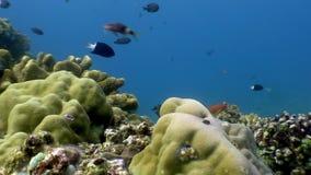 Escuela de los pescados coloridos subacuáticos en el océano de la fauna Filipinas metrajes