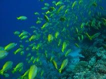 Escuela de los pescados del cirujano en el filón coralino fotos de archivo