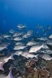 Escuela de los pescados del emperador de Bluescale. Imagenes de archivo