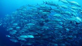 Escuela de los pescados del enchufe metrajes