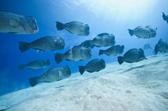 Escuela de los pescados del humphead foto de archivo
