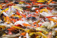 Escuela de los pescados hambrientos de la carpa de Koi Fotos de archivo libres de regalías