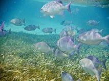 Escuela de los pescados subacuáticos Imágenes de archivo libres de regalías