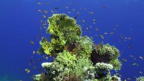 Escuela de los pescados subacuáticos en el fondo azul limpio de corales en el Mar Rojo