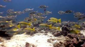 Escuela de los pescados subacuáticos en el fondo del fondo del mar en Maldivas almacen de video
