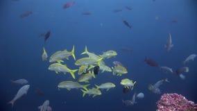 Escuela de los pescados subacuáticos en las Islas Galápagos almacen de video