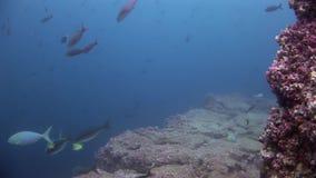 Escuela de los pescados subacuáticos en las Islas Galápagos metrajes
