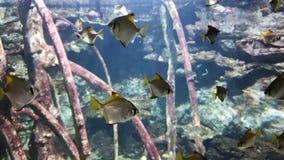 Escuela de los pescados tropicales que nadan en acuario con las ramas de madera en fondo almacen de video