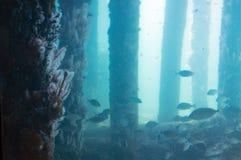Escuela de los pescados vistos del observatorio subacuático, embarcadero de Busselton, WA, Australia imagen de archivo