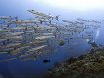 Escuela de los pescados y del buceador gigantes Blue Sea Background de la barracuda en la isla de Sipadan Foto de archivo libre de regalías