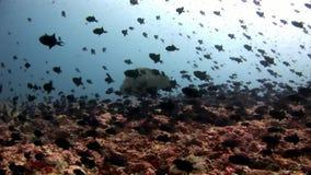 Escuela de los pescados y del wrasse de Napoleon subacuáticos en el fondo del mar en Maldivas almacen de metraje de vídeo