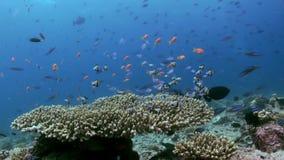 Escuela de pequeños pescados multicolores tropicales en el filón almacen de metraje de vídeo