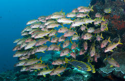 Escuela de pescados Fotos de archivo
