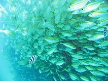 Escuela de pescados Imagenes de archivo