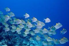 Escuela de pescados Imagen de archivo libre de regalías