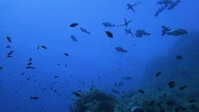 Escuela de pescados depredadores tropicales almacen de video