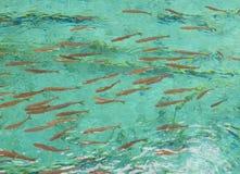 Escuela de pescados en el lago en Jiuzhaigou, China Imagen de archivo