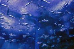 Escuela de pescados en la natación del cautiverio en el acuario imagen de archivo