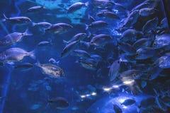 Escuela de pescados en la natación del cautiverio en el acuario foto de archivo libre de regalías