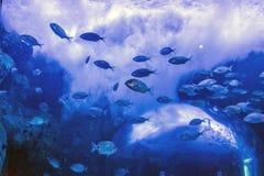Escuela de pescados en la natación del cautiverio en el acuario foto de archivo