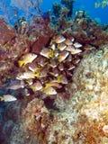 Escuela de pescados en un filón del Caribe imágenes de archivo libres de regalías
