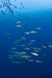 Escuela de pescados grandes Imagen de archivo libre de regalías