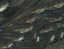 Escuela de pescados grises Fotografía de archivo libre de regalías