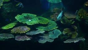 Escuela de pescados de la diversa nataci?n de la especie en agua azul limpia del acuario grande Vida tropical subacu?tica marina metrajes