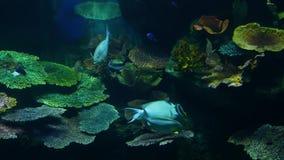 Escuela de pescados de la diversa nataci?n de la especie en agua azul limpia del acuario grande Vida tropical subacu?tica marina almacen de metraje de vídeo