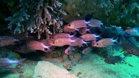 Escuela de pescados rayados rojos en la búsqueda del filón de la comida almacen de metraje de vídeo