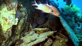 Escuela de pescados rayados rojos en la búsqueda del filón de la comida metrajes